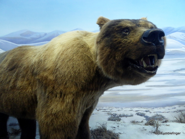 19 Yukon Beringia Center (38). Giant Short-faced bear