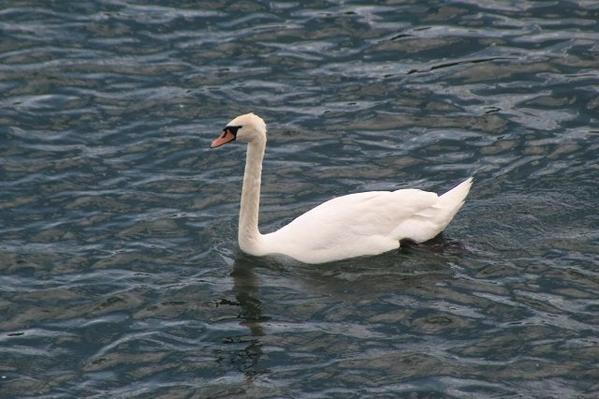 Danube-Swan