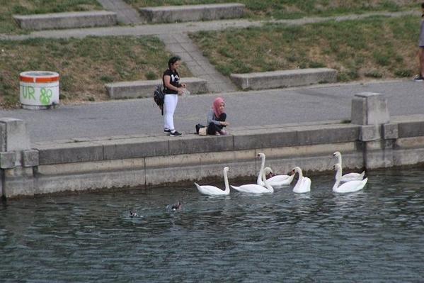 Danube-Swans