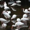 00 White Ibis