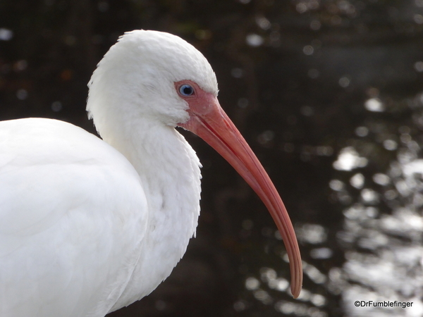 02 White Ibis