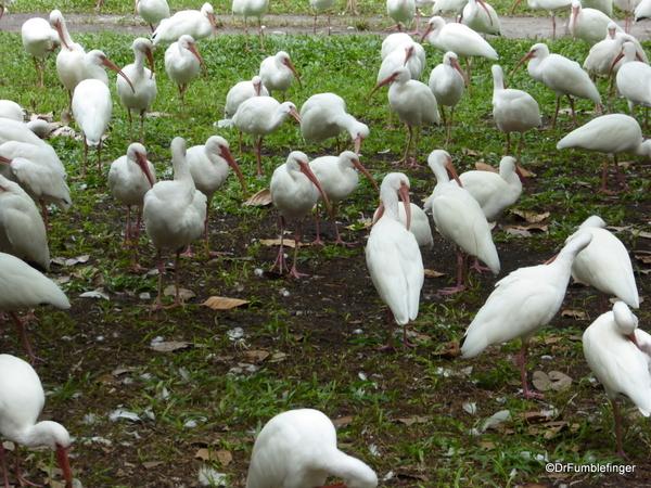 03 White Ibis