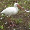 04 White Ibis