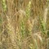 Wheat crop, Manitoba