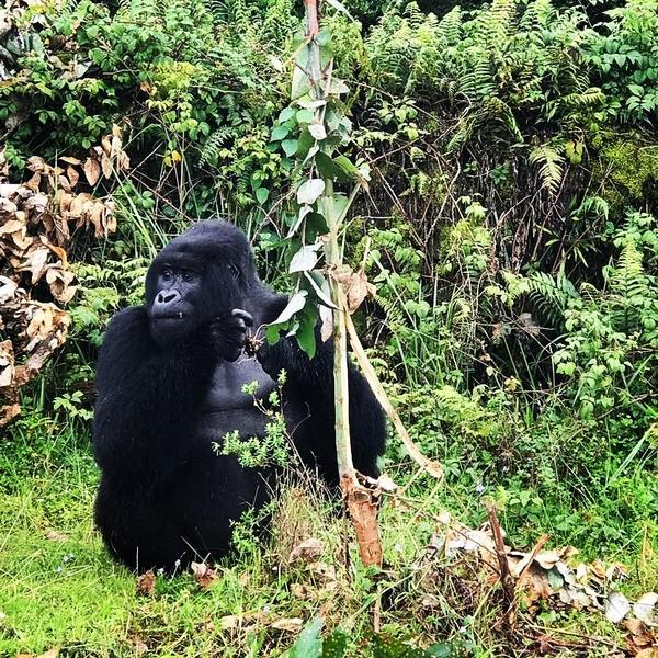 Gorilla Trekking in Bwindi, Uganda