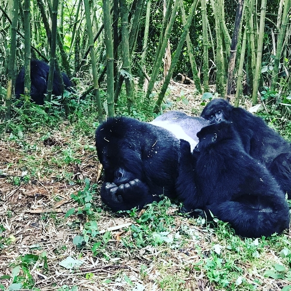 Gorilla Trekking Rwanda [1)