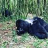 Gorilla Trekking Rwanda: Gorilla Trekking in Rwanda