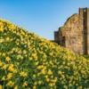 Daffodils at Warkworth Castle, Northumberland