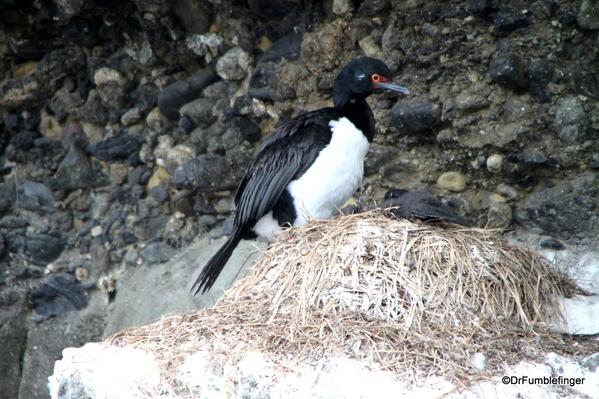 04 Tucker Islets. Magellanic Cormorant