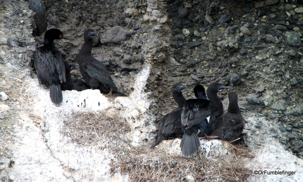 05 Tucker Islets. Magellanic Cormorant