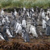 Tucker's Islets. Magellanic penguins