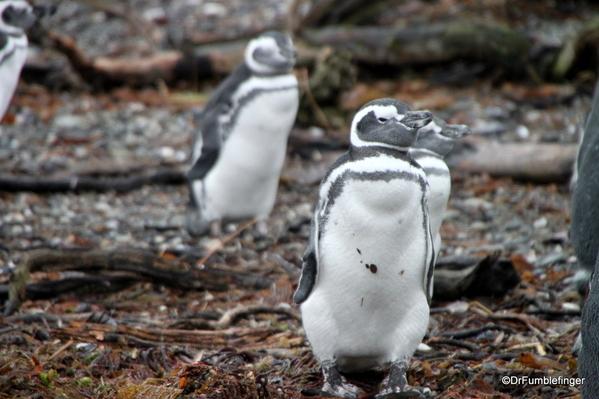 14 Tucker Islets. Magellanic penguin