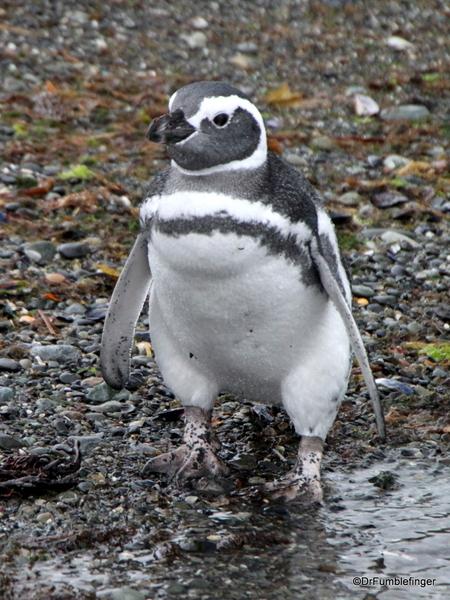 15 Tucker Islets. Magellanic penguin