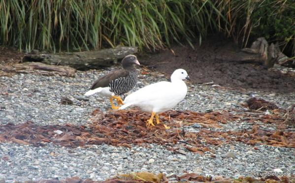 17 Tucker Islets. Kelp Geese