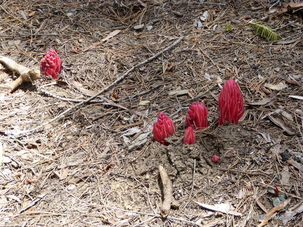 Snow Plants, Yosemite (5)