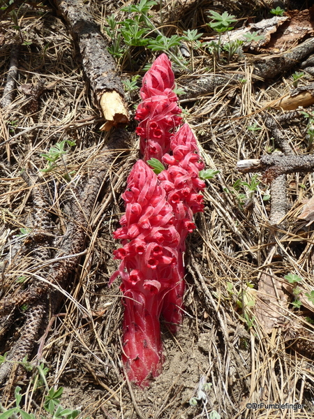 Snow Plants, Yosemite (11)