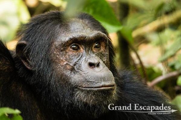Uganda-Chimapanzees-102