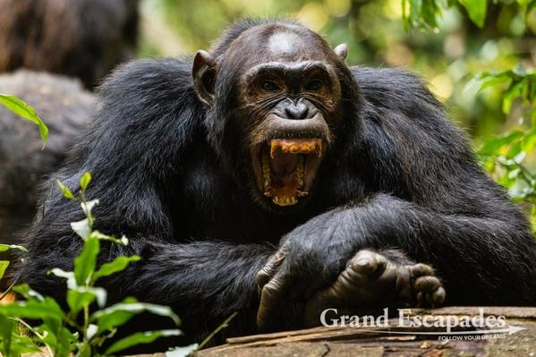 Uganda-Chimapanzees-103