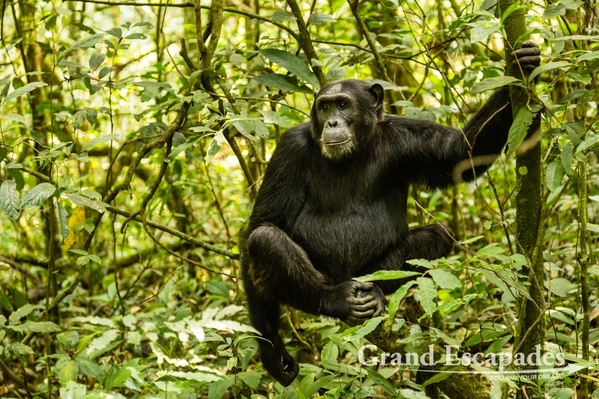 Uganda-Chimapanzees-105