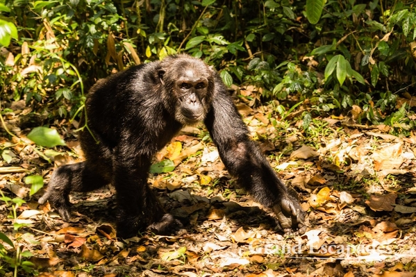 Uganda-Chimapanzees-106