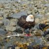 Bald Eagle and Salmon, Katmai National Park, Alaska