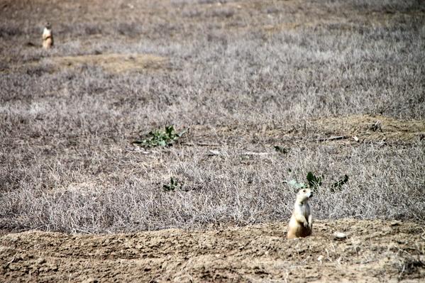 Prairie dogs (3)