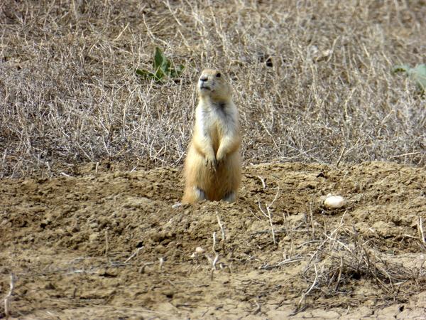 Prairie dogs (5)