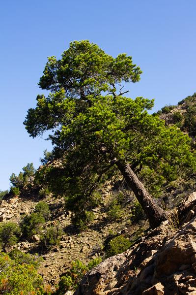 nambe tree 01