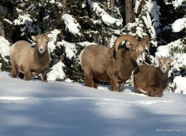 01 Rocky Mountain Bighorns