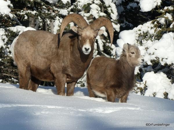 02 Rocky Mountain Bighorns