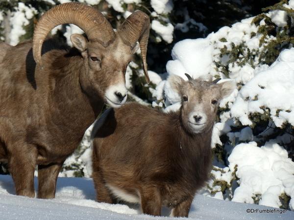 03 Rocky Mountain Bighorns