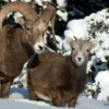 Rocky Mountain Bighorns, Banff National Park