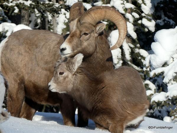 04 Rocky Mountain Bighorns