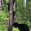 Black Bears, Alberta Oil Sands