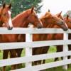 Saddlebreds at Fence-edit (1)