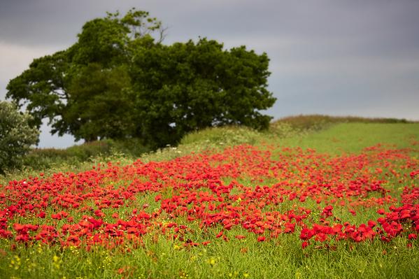 Poppy Fields, North Yorkshire.