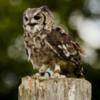 Little Owl - Duncombe Park, Helmsley.