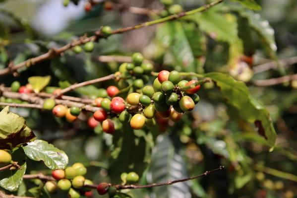 07-04 Doka Coffee Plantation (17)