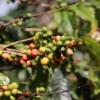 Doka Coffee Plantation