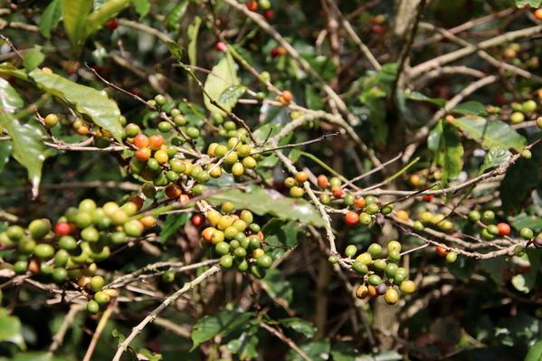 08-04 Doka Coffee Plantation (18)
