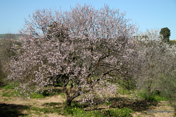 02 Almond blossoms, Agrigento