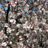 03 Almond blossoms, Agrigento