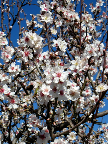 04 Almond blossoms, Agrigento