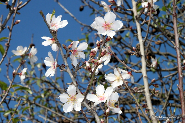 05 Almond blossoms, Agrigento