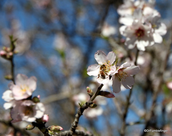 06 Almond blossoms, Agrigento
