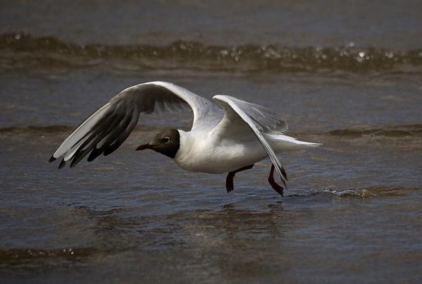 Black headed gull. w