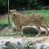 Singapore Zoo.  CHEETAH