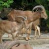 Singapore Zoo.  BARBARY SHEEP