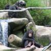Singapore Zoo. Chimpanzees