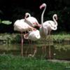 Singapore Zoo.  FLAMINGOS